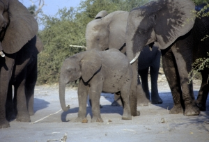 Matriarch elephants with baby