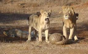 lions and pangolin