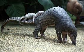 Pangolin with baby
